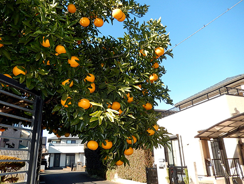 塀越しの橙色