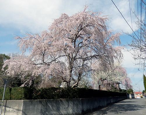 南守谷の桜屋敷2020