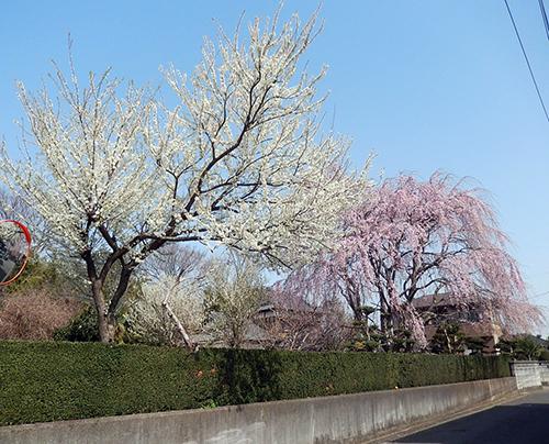 南守谷の桜屋敷2020_02