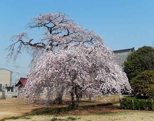 西林寺のシダレザクラ01