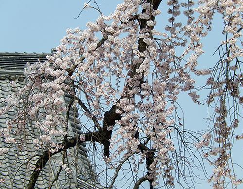 西林寺のシダレザクラ03