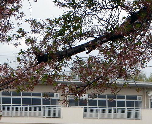 市立愛宕中学校のサクラ