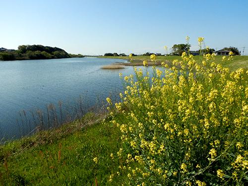 小貝川と菜の花