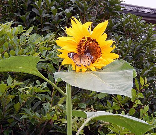 ヒマワリに蝶