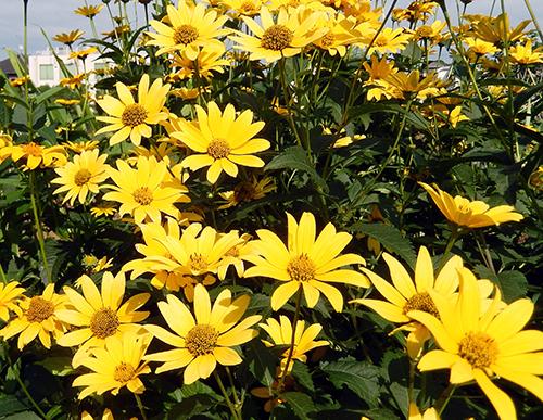 前の家の庭に咲いていた花