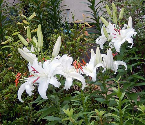 高橋さん宅に咲いていた花