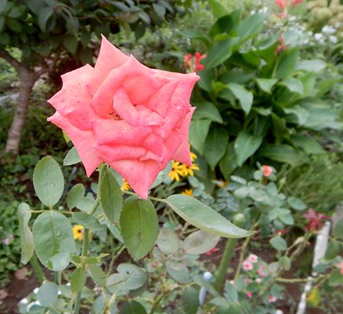 西林寺のバラ