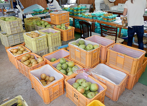 朝採れの梨を選別中